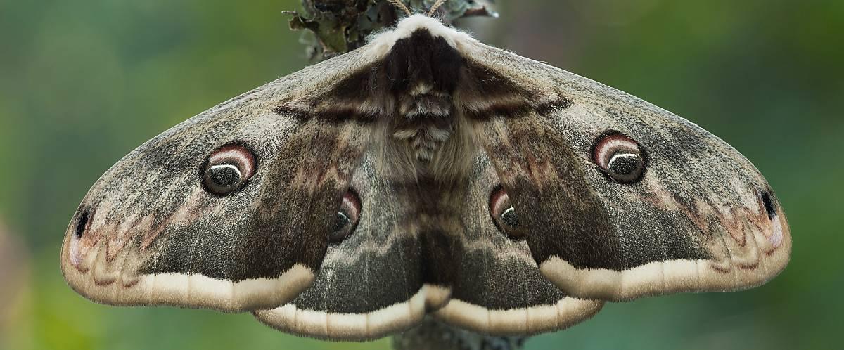 Nachtfalter erkennt man meist an ihrer eher unscheinbaren Flügelfärbung