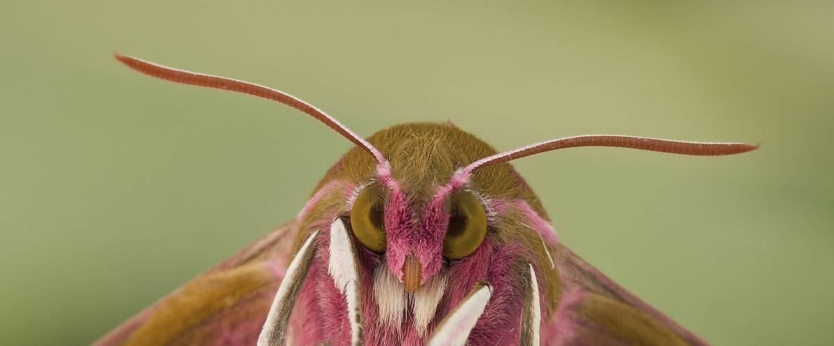 Die Fühler der Schmetterlinge sind sehr unterschiedlich aufgebaut