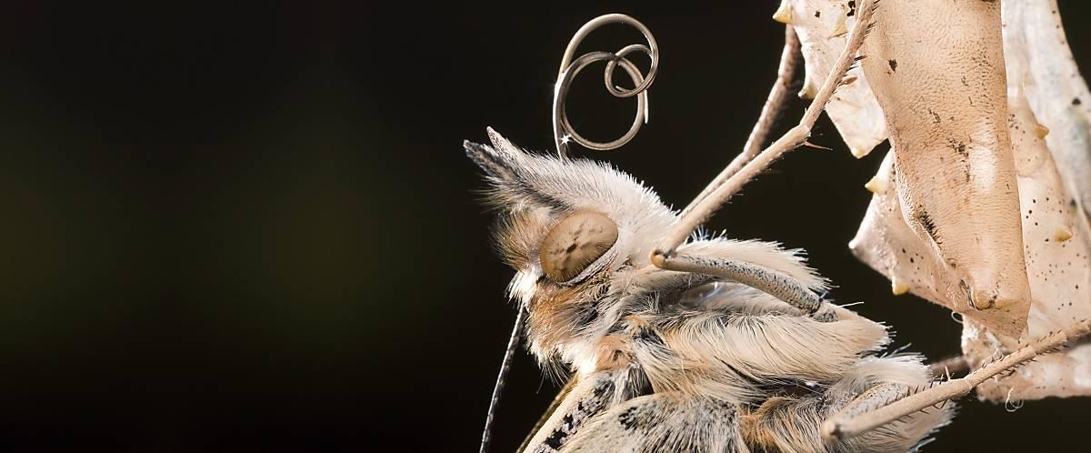 Einige Schmetterlingsarten haben geschwungene Fühler