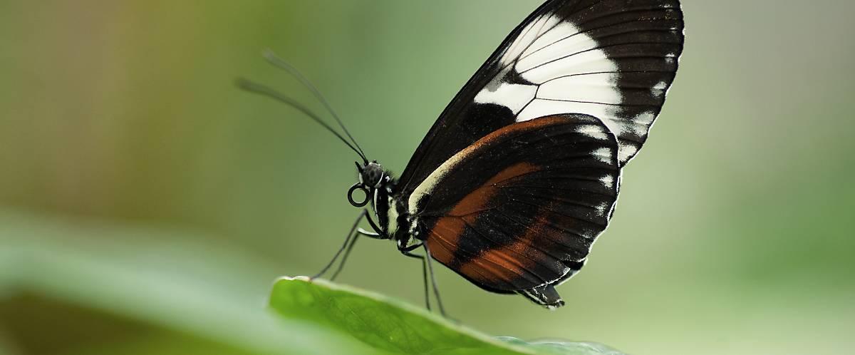 Schmetterling mit eingerolltem Mundwerkzeug