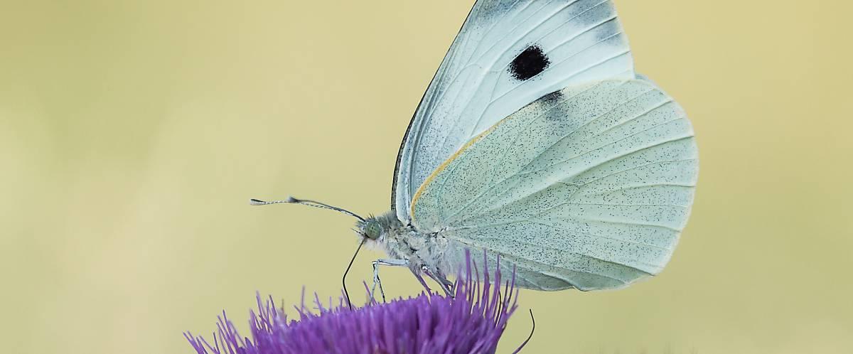 Schmetterling mit ausgefahrenem Rüssel