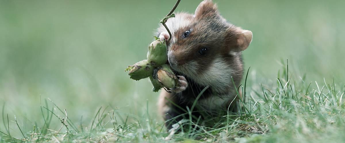 Merkmale Feldhamster Hamsterbacken