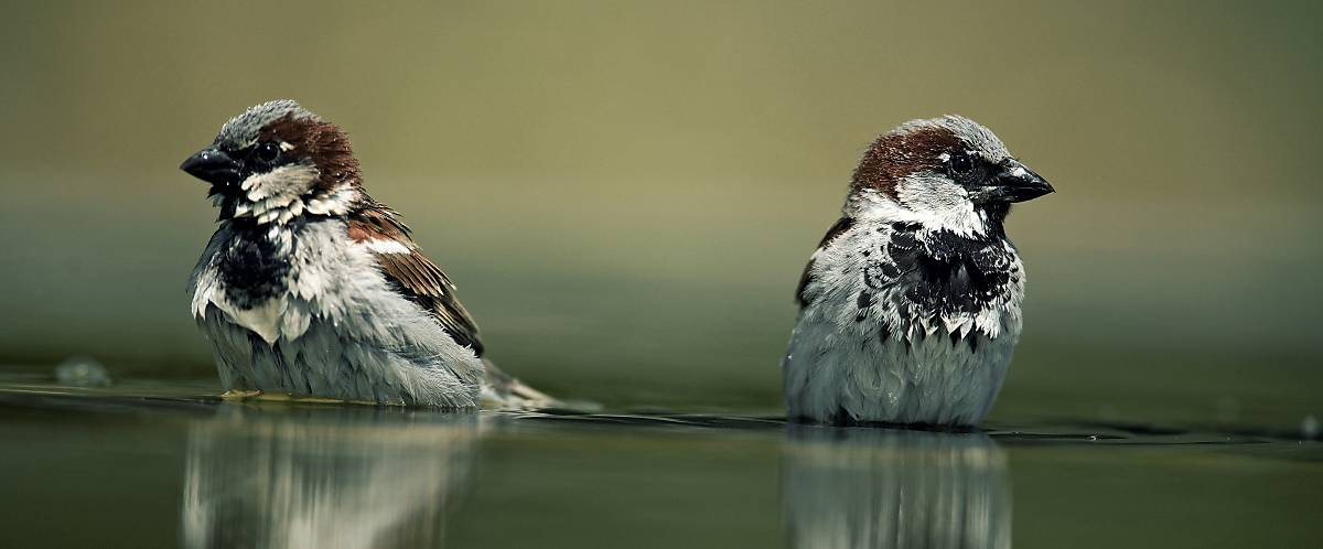 Spatzen im Wasser
