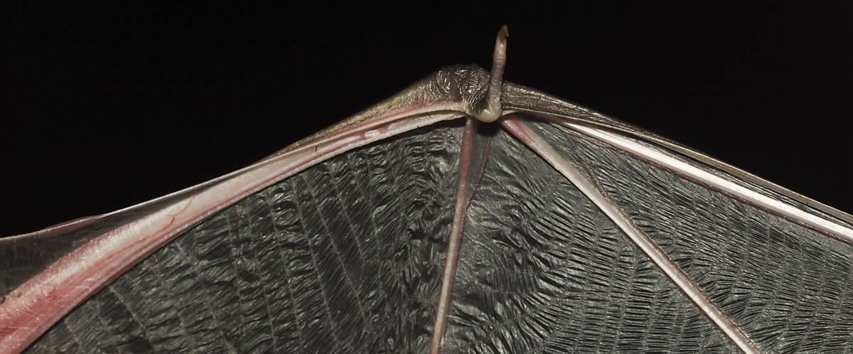 Fledermaus Flügel ausgestreckt