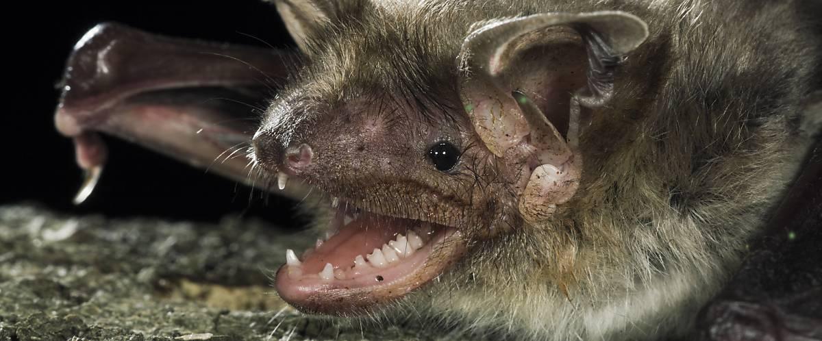Fledermaus Gesicht mit Zähnen