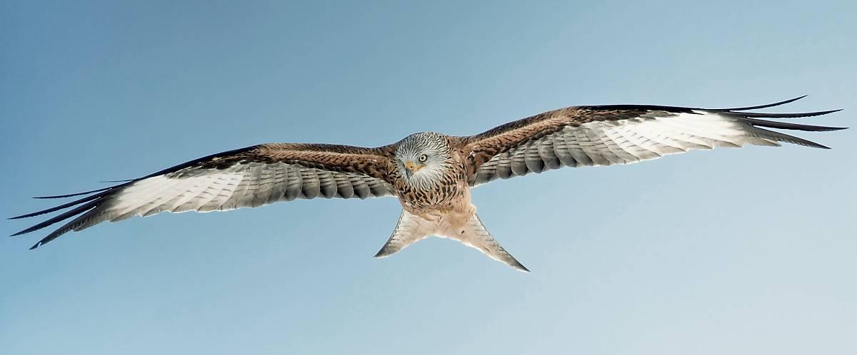 Der gegabelte Schwanz ist ein wichtiges Erkennungsmerkmal des Rotmilans