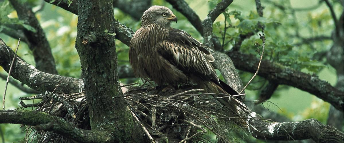 Der Rotmilan errichtet seinen Horst gern in Baumreihen oder an Waldrändern