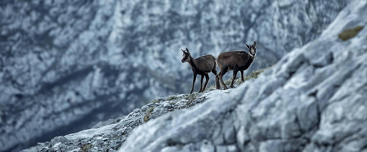 Gämse stehend auf einem Hochgebirge