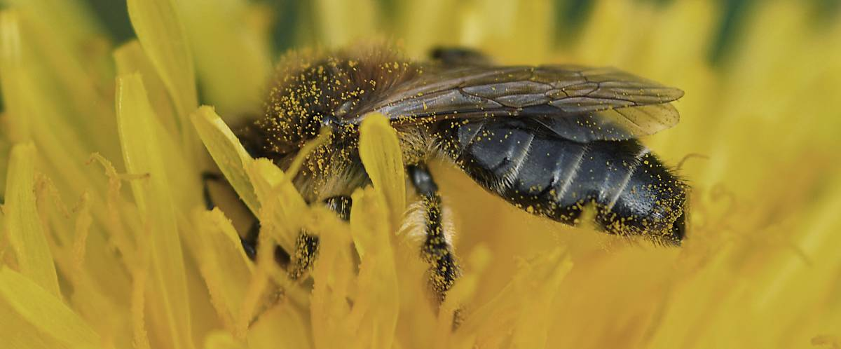 steckbrief wildbienen