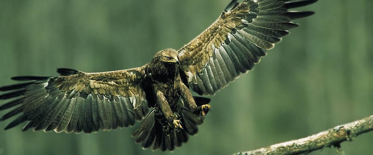 Schreiadler mit ausgebreiteten Flügeln