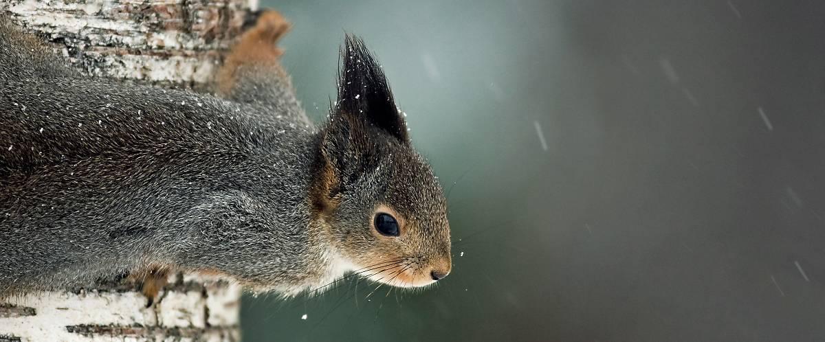 Eichhörnchen Merkmale Fellfarbe grau braun
