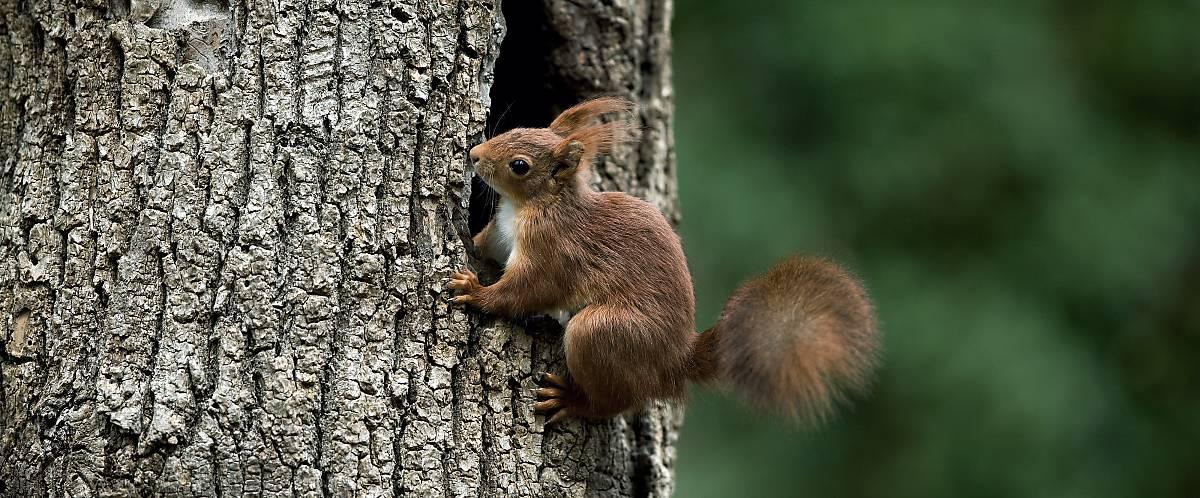 Merkmale Eichhörnchen Hinterbeine