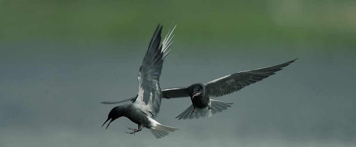 Flugmanöver der Trauerseeschwalben