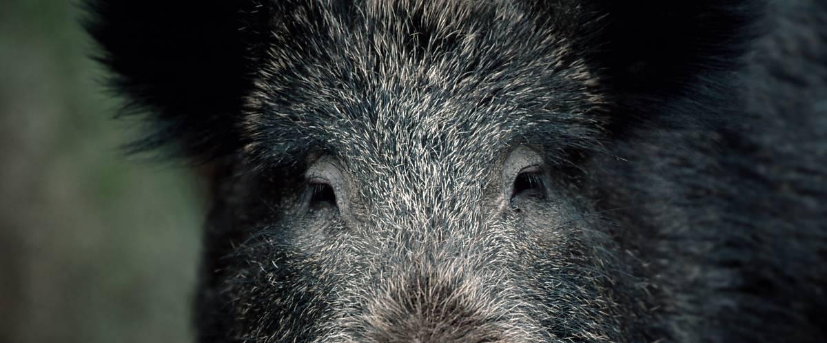 Wildschwein Augen