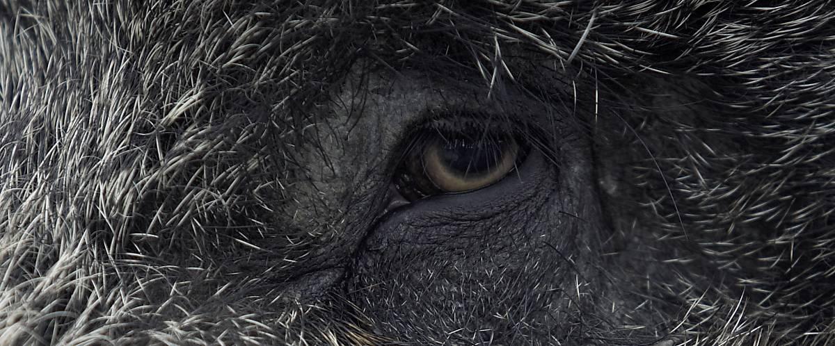 Auge Wildschwein