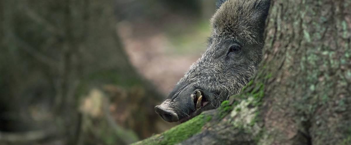 Wildschwein Eckzähne