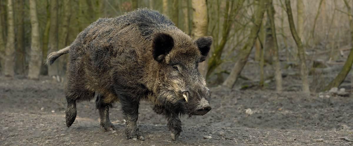 Fell Wildschwein