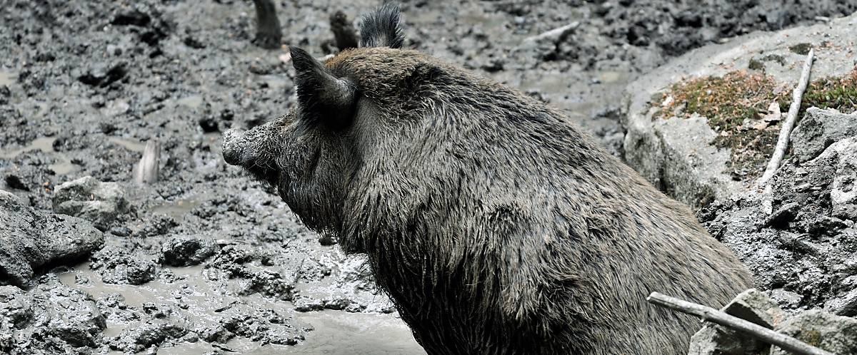Wildschwein beim suhlen