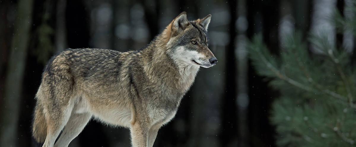 steckbrief_wolf_merkmale_hoervermoegen_slider_2