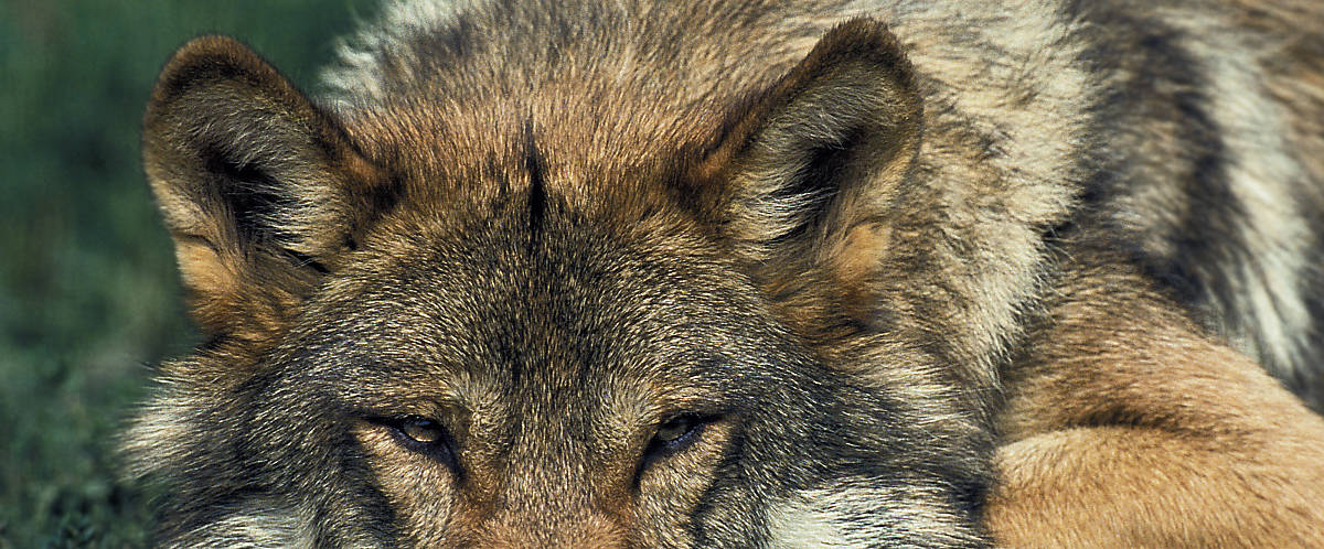 steckbrief_wolf_merkmale_hoervermoegen_slider_1