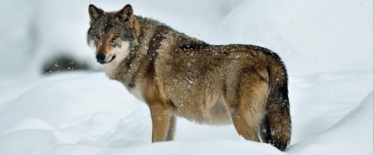 steckbrief_wolf_merkmale_koerperbau_slider_1