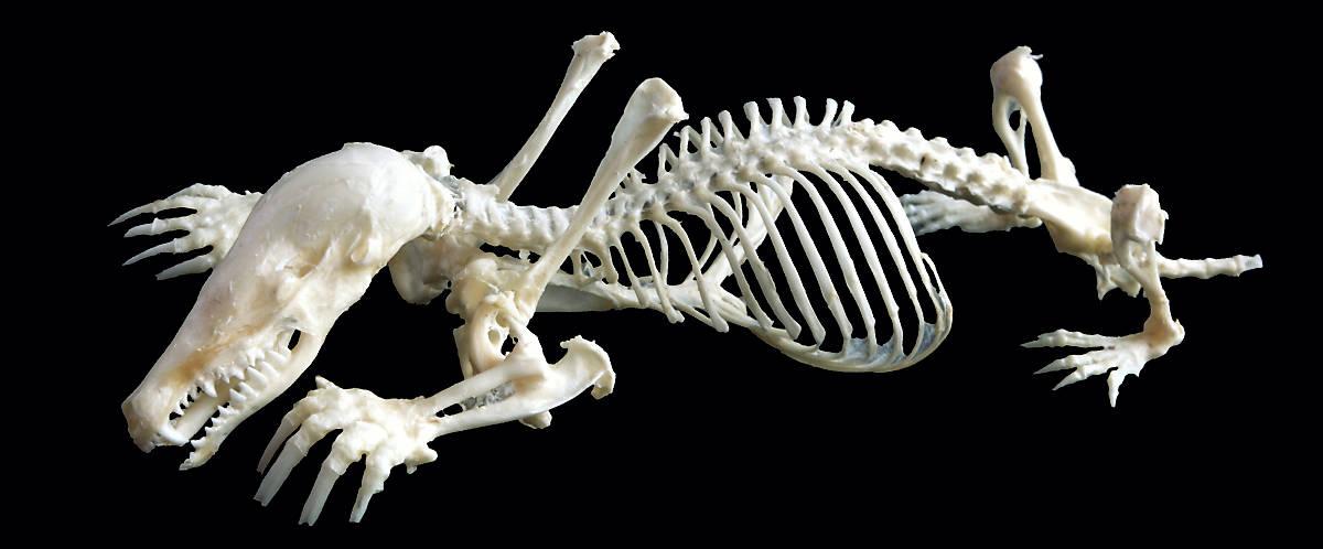 steckbrief_maulwurf_merkmale_anatomie_1