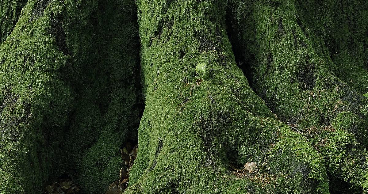 Alter Baum mit  Moos.