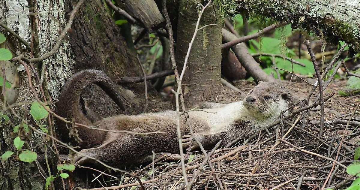 Fischotter (Quelle Naturfoto Hofmann )