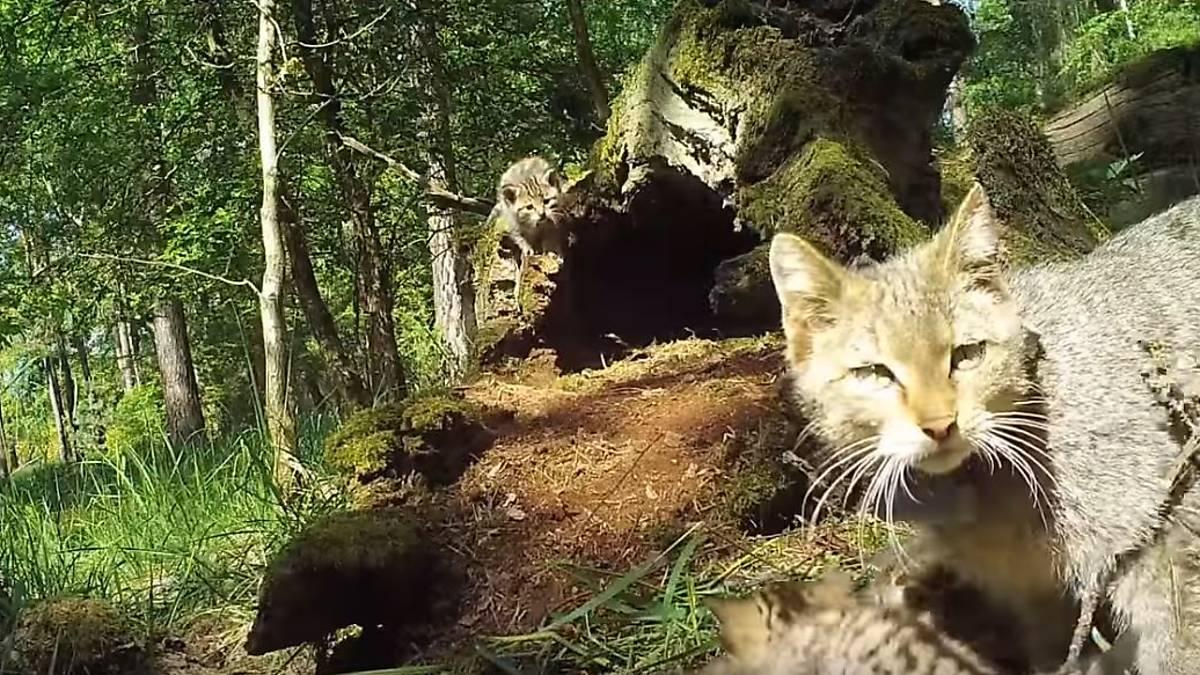 wildkatze-verteidigt-gegen-wolf