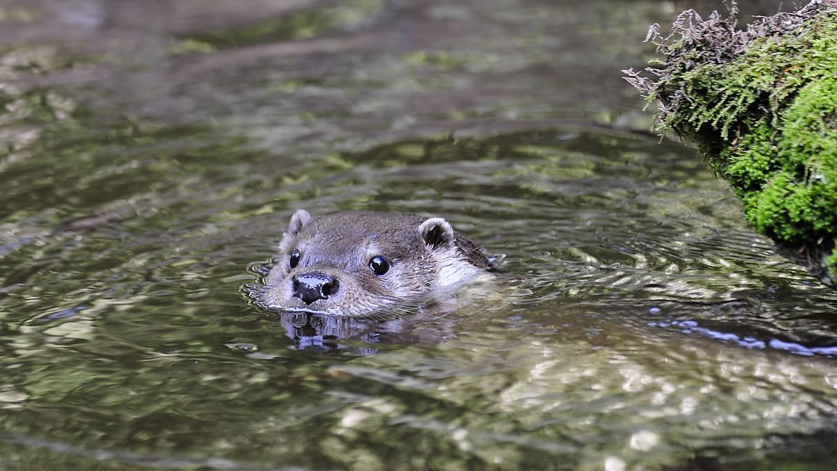 Fischotter schaut aus dem Wasser (Quelle: Naturfoto Hofmann)