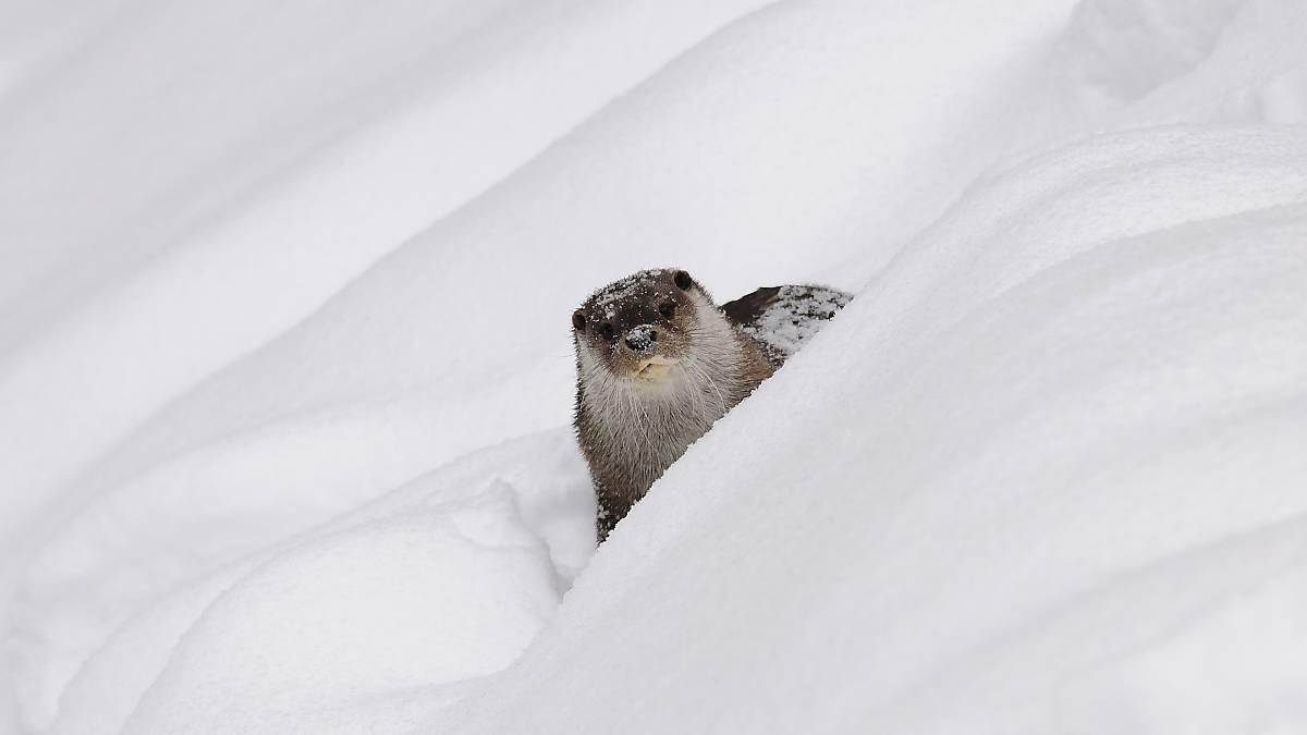 Fischotter im Schnee (Quelle: Naturfoto Hofmann)
