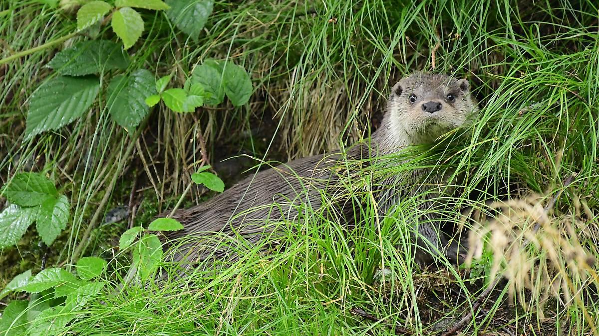 Fischotter im Gras (Quelle: Naturfoto Hofmann)