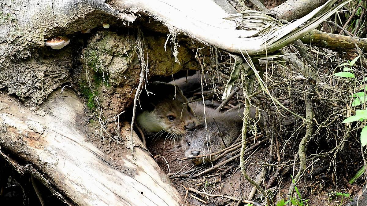 Fischottermutter mit Jungen im Versteck (Quelle: Naturfoto Hofmann)