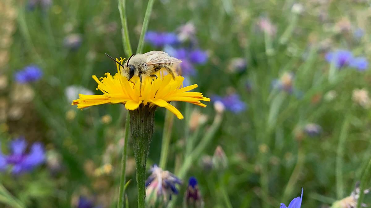 youtube-vorschaubild-wildbienen