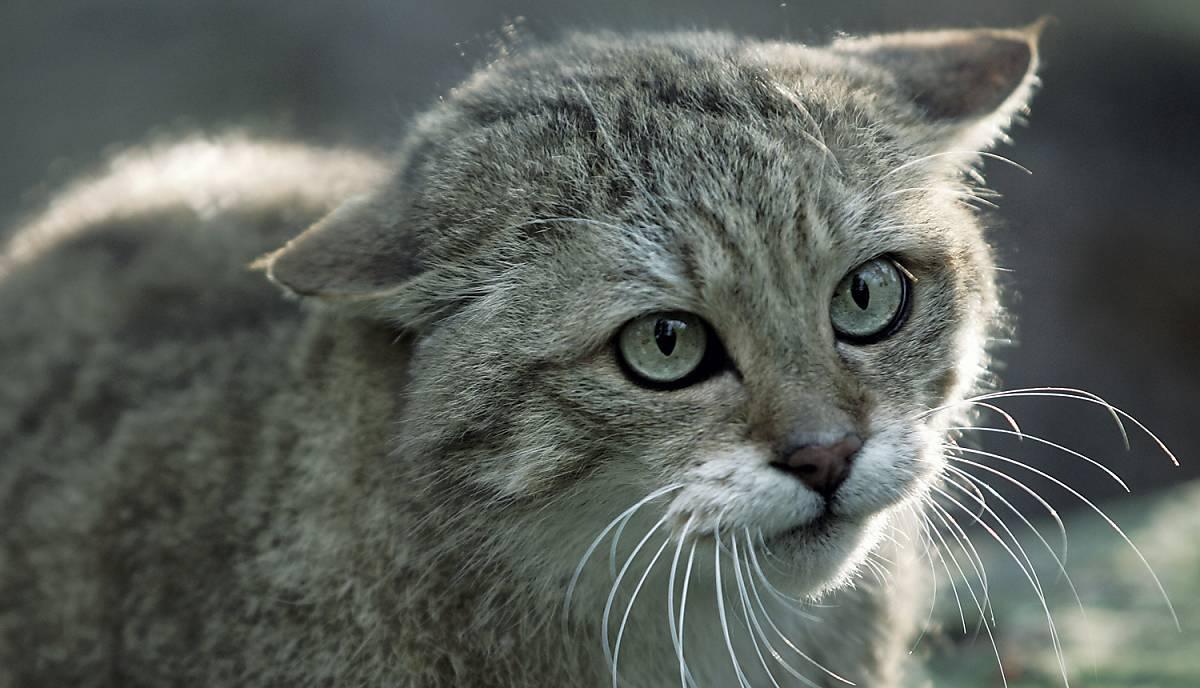 Wildkatze mit langen Schnurrhaaren.