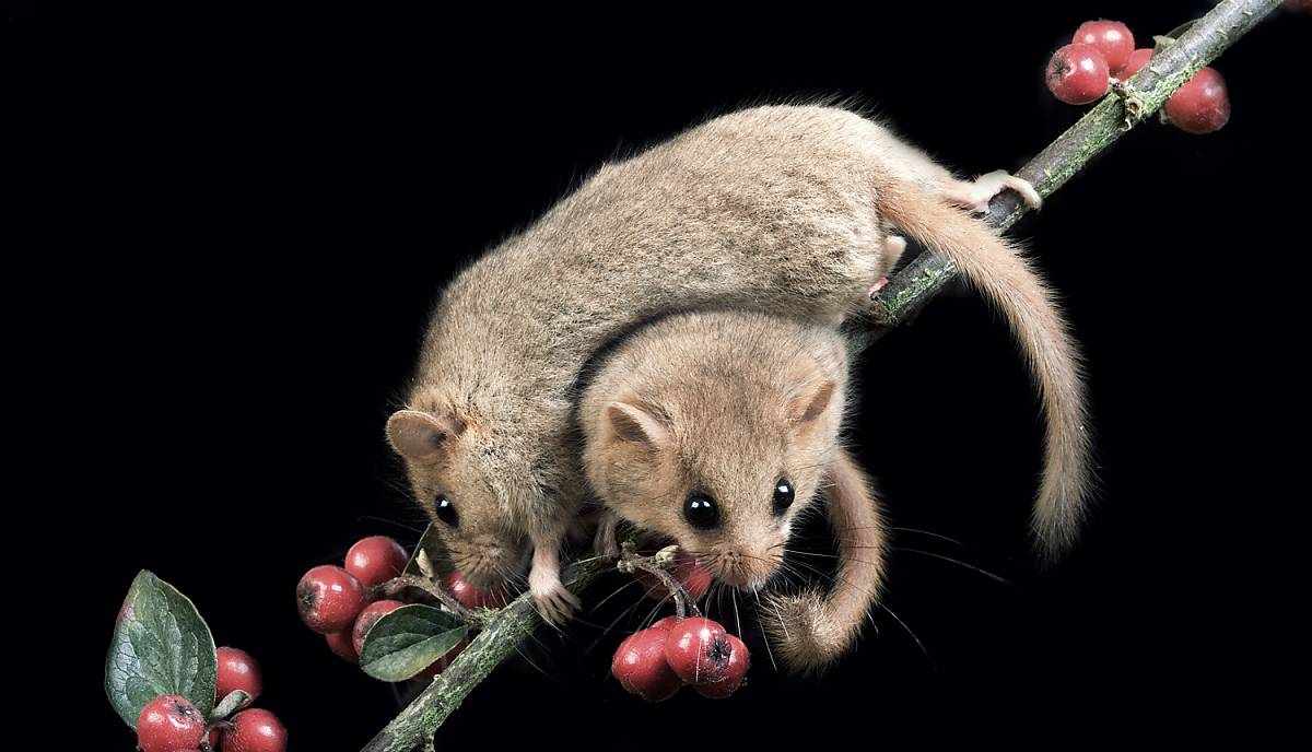 Zwei Hasemäuse