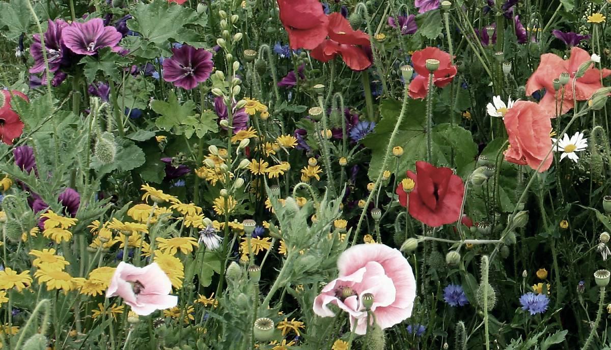 Wildpflanzen im Garten für den Spatz.