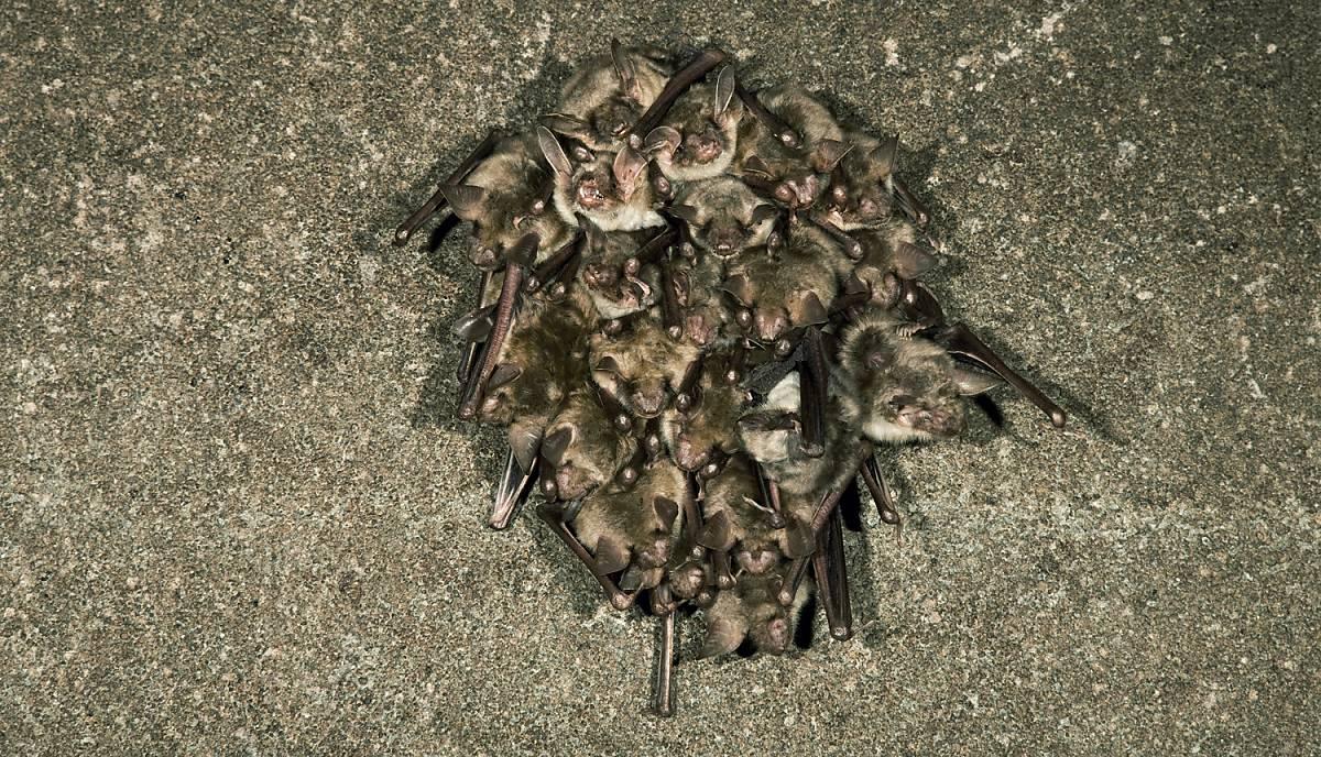 Fledermäuse halten Ihren Winterschlaf hängend
