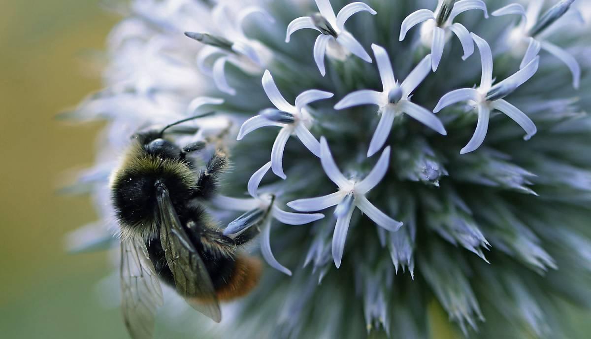 Wildbienen sind wichtige Bestäuber