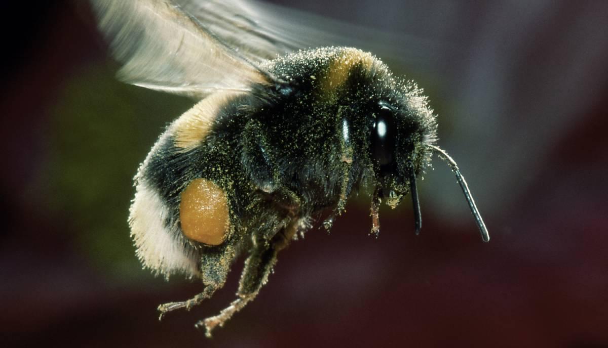 Wildbiene mit Nektar und Pollen