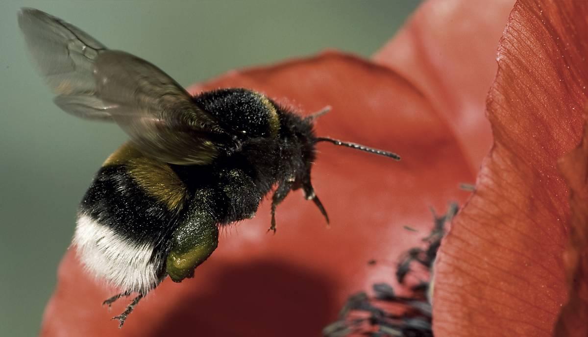 Wildbiene mit Nektar im Anflug auf Mohnblume