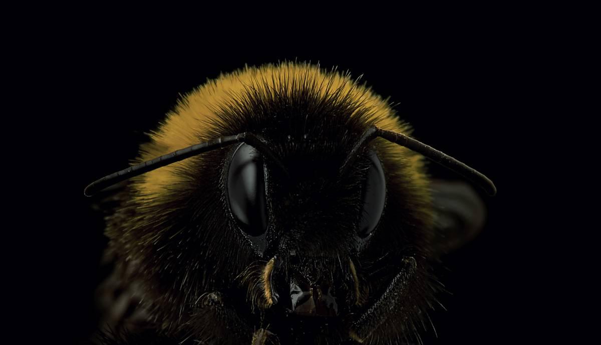 Nahaufname einer Wildbiene