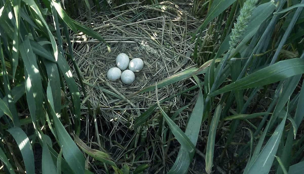 Wiesenweihen bauen ihr Nest am Boden inmitten von Feldern.