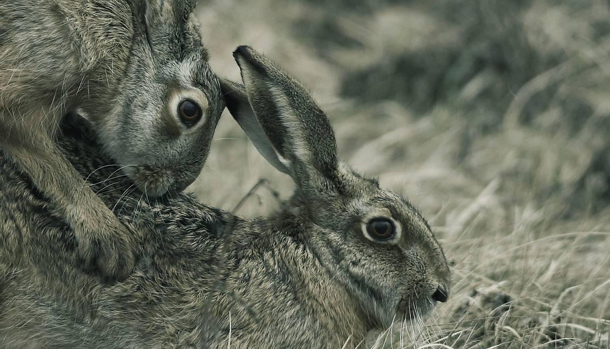 feldhasen bei der fortpflanzung - Muster Tierbeschreibung
