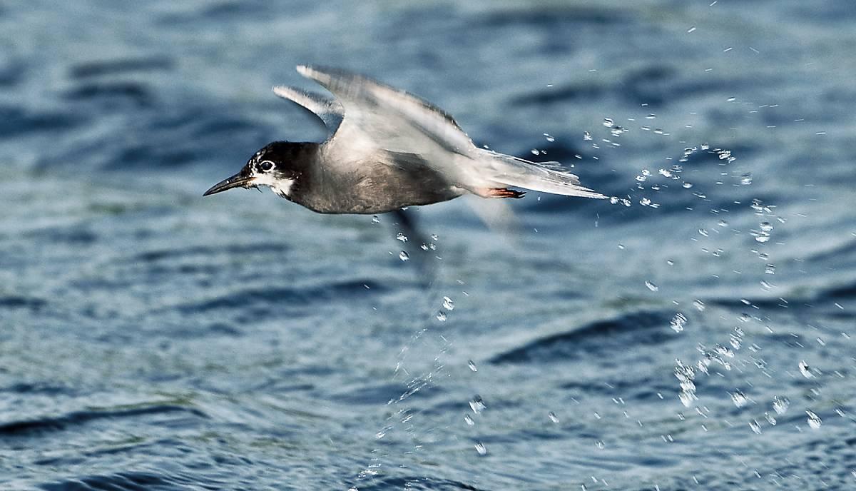 Trauerseeschwalben jagen aus der Luft