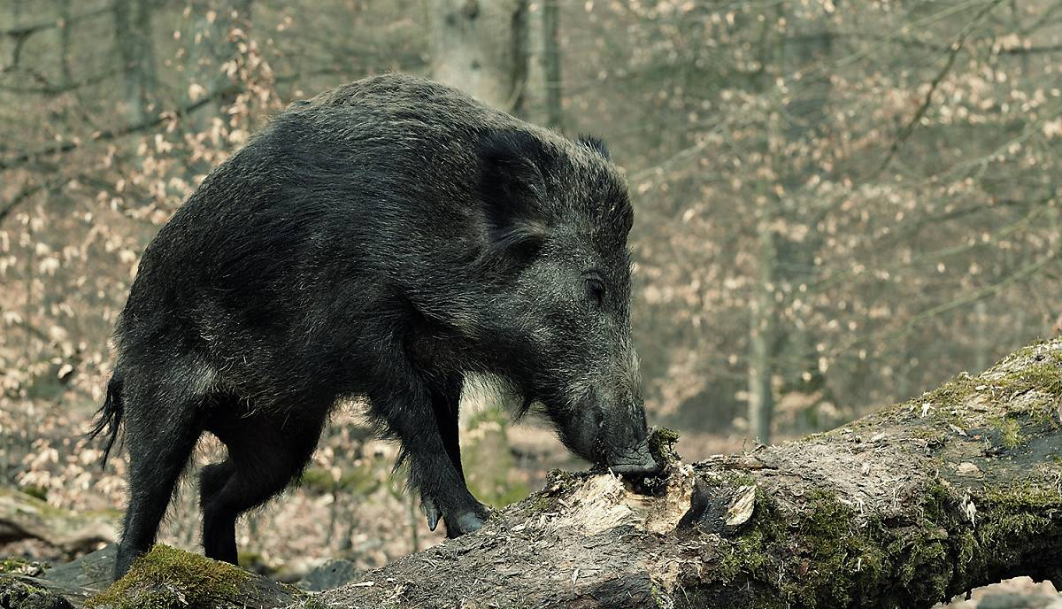 Wildschwein beim Fressen