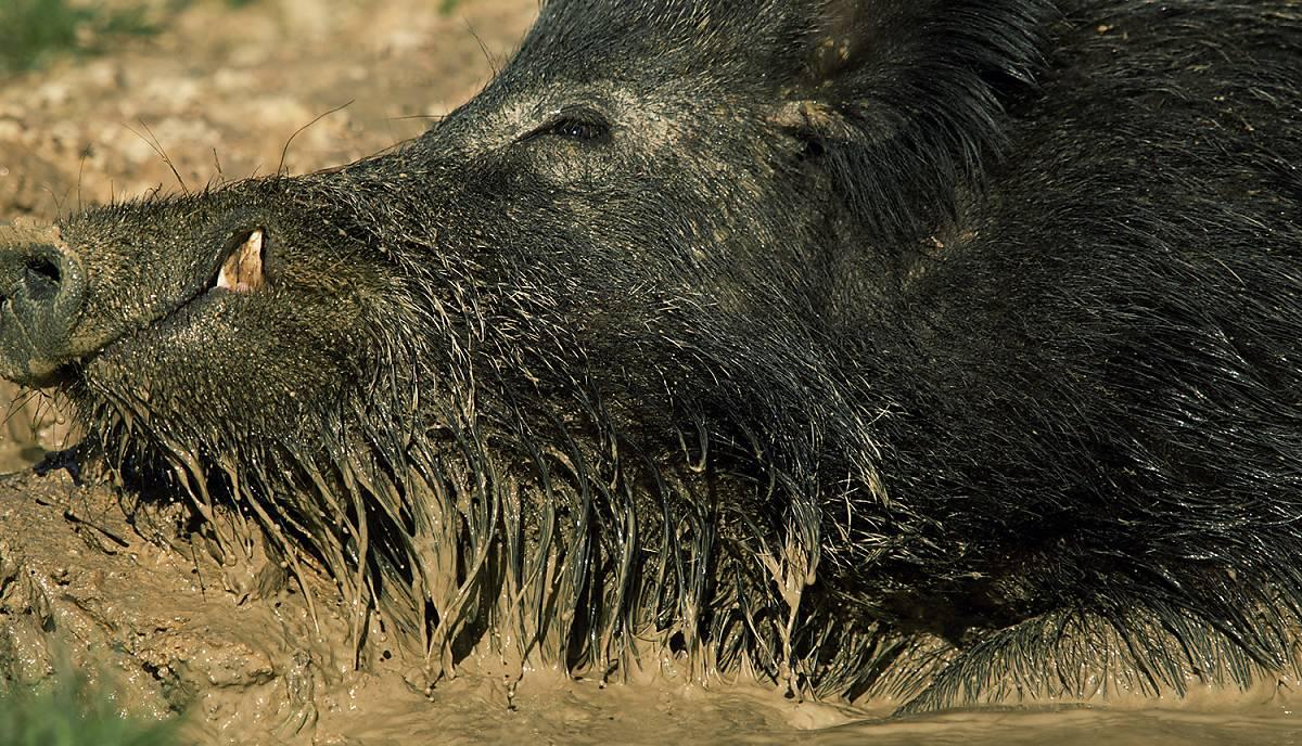 Wildschwein malen suhlen