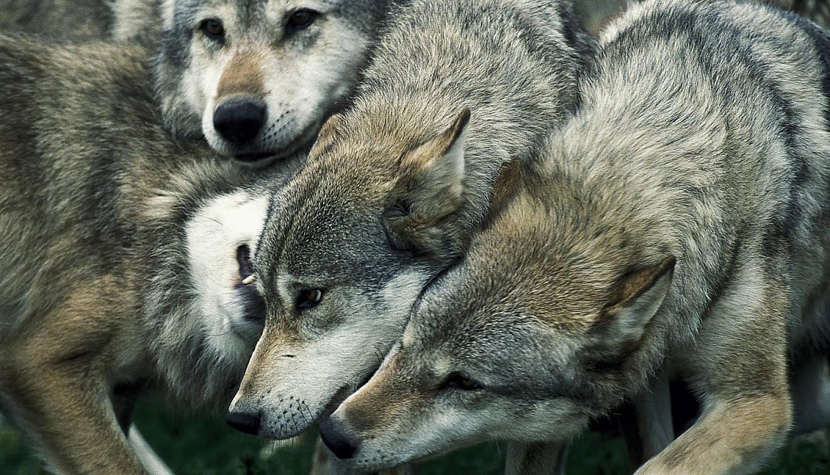steckbrief_wolf_lebensweise_sozialverhalten_teaser_m