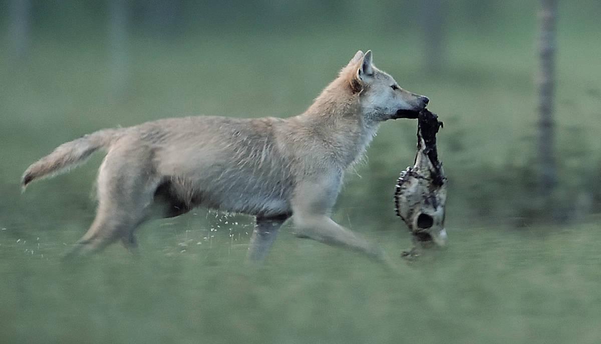 steckbrief_wolf_lebensweise_nahrung_teaser_m