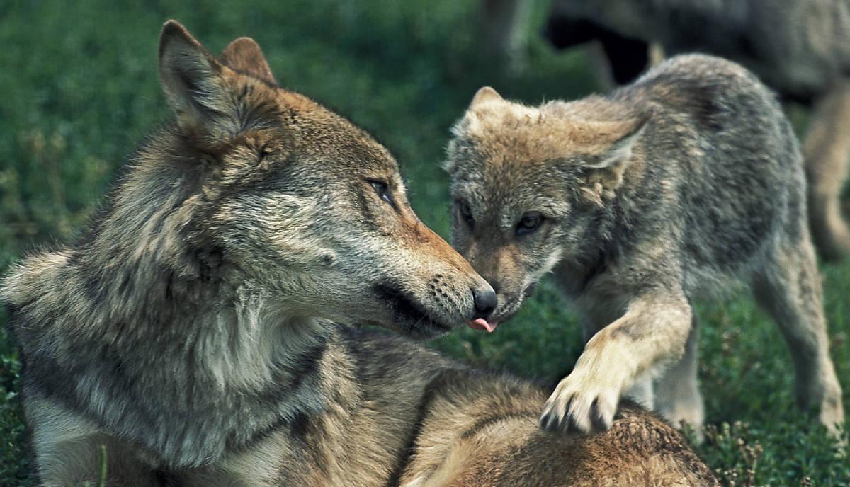 steckbrief_wolf_lebensweise_fortpflanzung_teaser_m